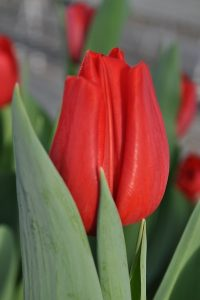 00tulip red westfrisian