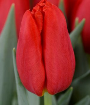 kwaliteit_tulips_red